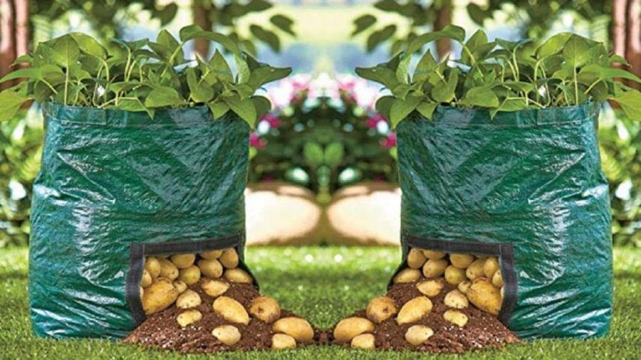 کاشت سیب زمینی حتی در گلدان