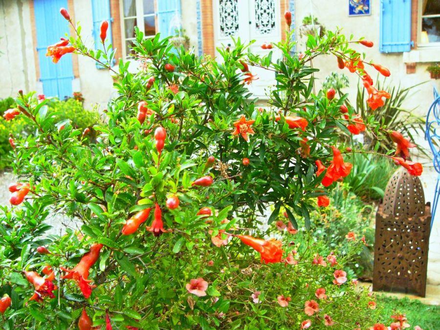 راهنمای کاشت و نگهداری درختچه انار زینتی