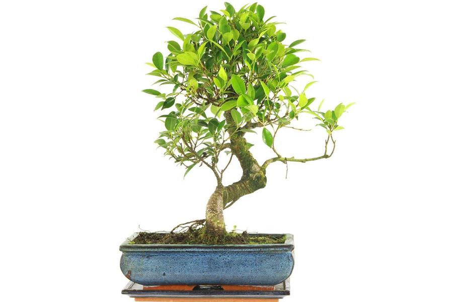 چگونگی استفاده از کود برای رشد دادن درختان بونسای
