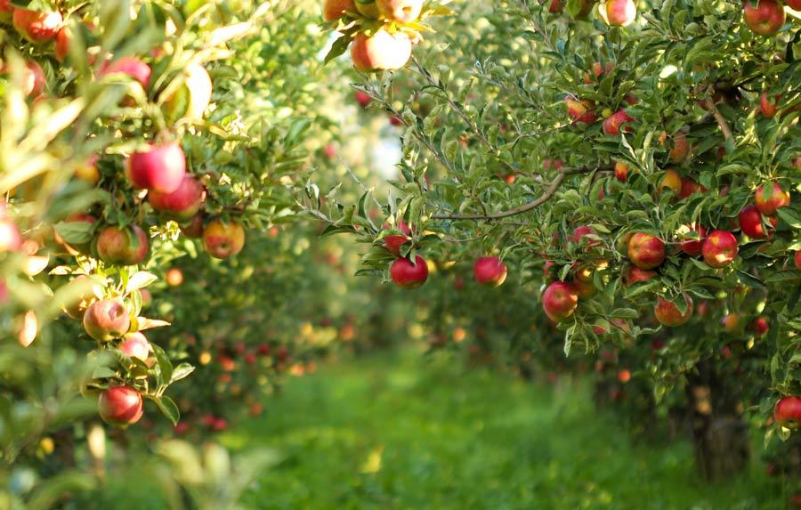 کودهای مورد نیاز باغات پس از برداشت محصول